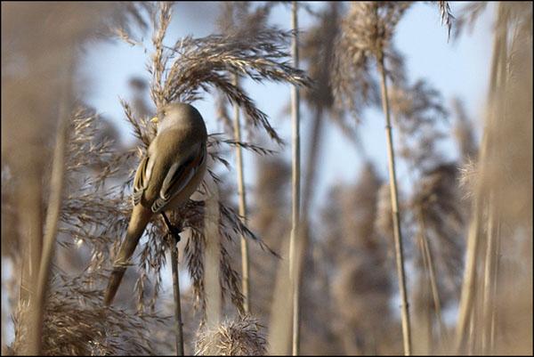 Wasatka / The Bearded Reedling / Panurus biarmicus