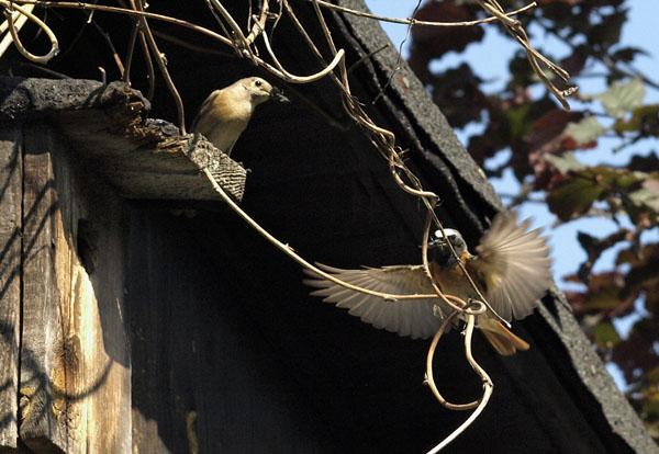 Pleszki / The Common Redstarts/ Phoenicurus phoenicurus