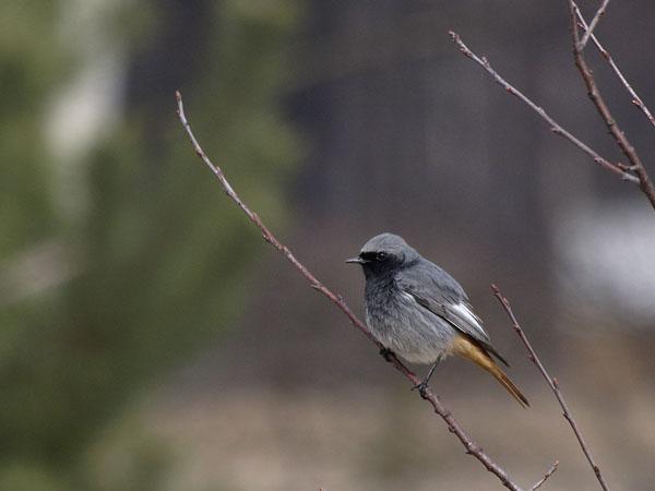 Kopciuszek / The Black Redstart / Phoenicurus ochruros