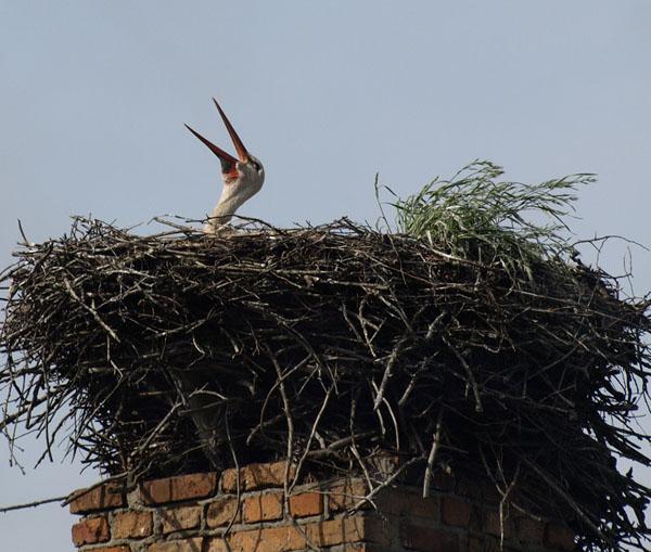 Bocian bialy / White Stork / Ciconia ciconia