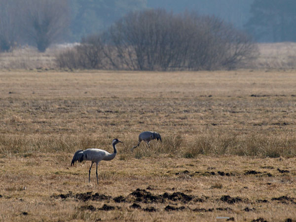 Zurawie - The Common Cranes / Grus grus