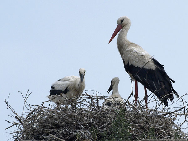 Bociany biale / White Storks / Ciconia ciconia