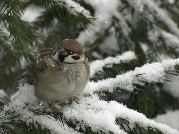 Mazurek / The Eurasian Tree Sparrow / Passer montanus