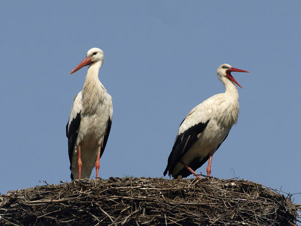 Bociany biale / White Storks / Ciconia ciconia