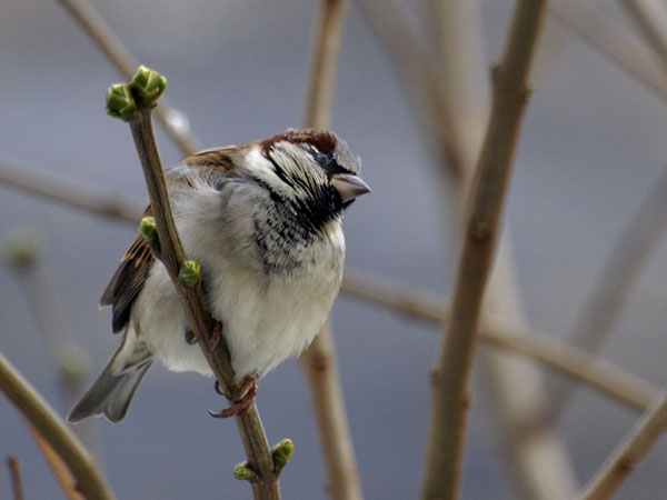 Wrobel zwyczajny / The House Sparrow / Passer domesticus