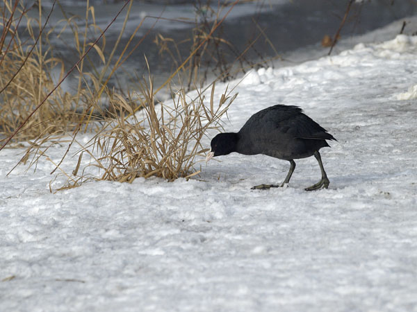 Lyska / The Coot / Fulica atra