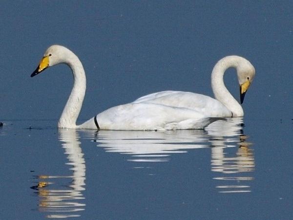 Labedzie krzykliwe / The Whooper Swans / Cygnus cygnus