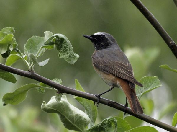 Pleszka / The Common Redstart / Phoenicurus phoenicurus