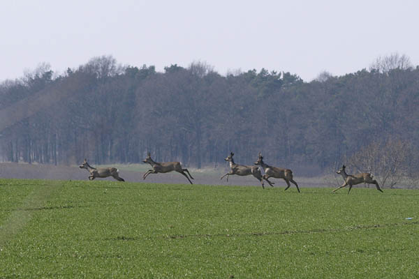 Sarny / The European Roe Deer (Capreolus capreolus)