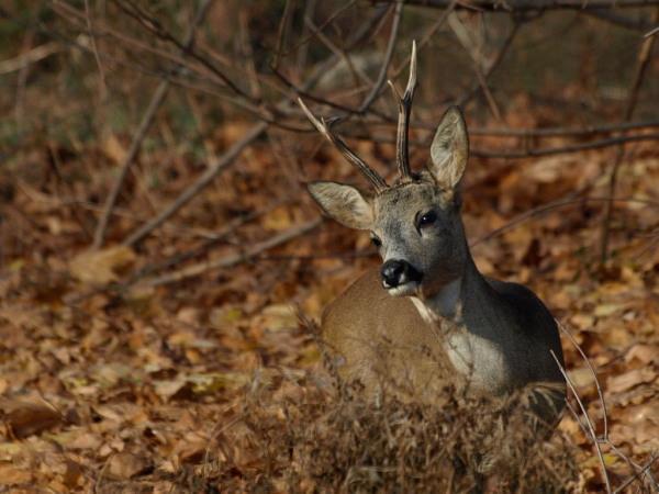 Sarna - koziol / The European Roe Deer (Capreolus capreolus)