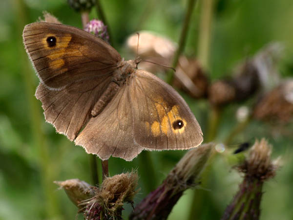 Przestrojnik jurtina / The Meadow Brown (Maniola jurtina)