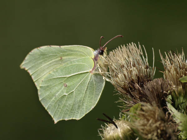 Listkowiec cytrynek / The Common Brimstone (Gonepteryx rhamni)