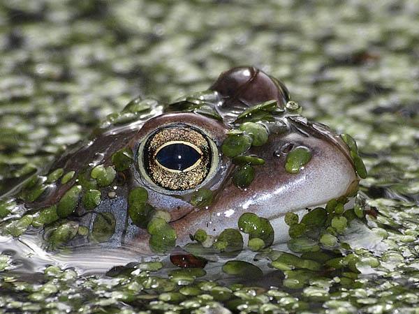 Zaba moczarowa / The Moor Frog (Rana arvalis)