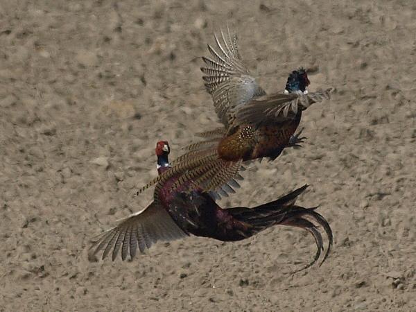 Bazanty / Common Pheasants (Phasianus colchicus)