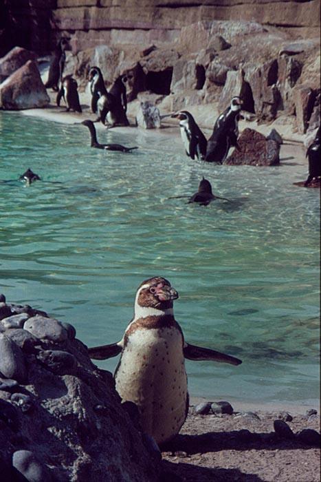 Pingwin Humboldta / Humboldt Penguin (Spheniscus humboldti)