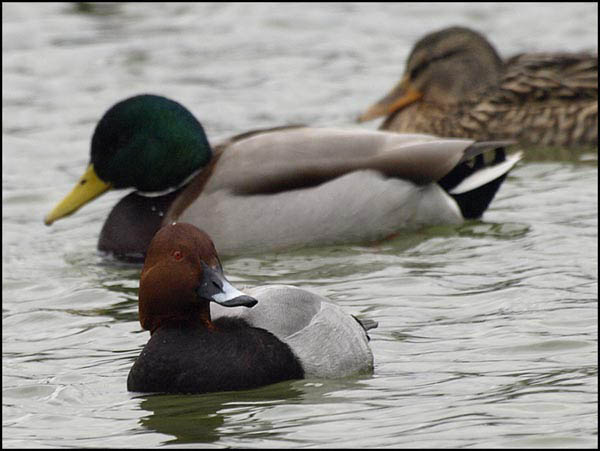 Glowienka / The Common Pochard / Aythya ferina
