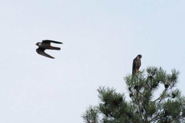Kobuz / Eurasian Hobby (Falco subbuteo)