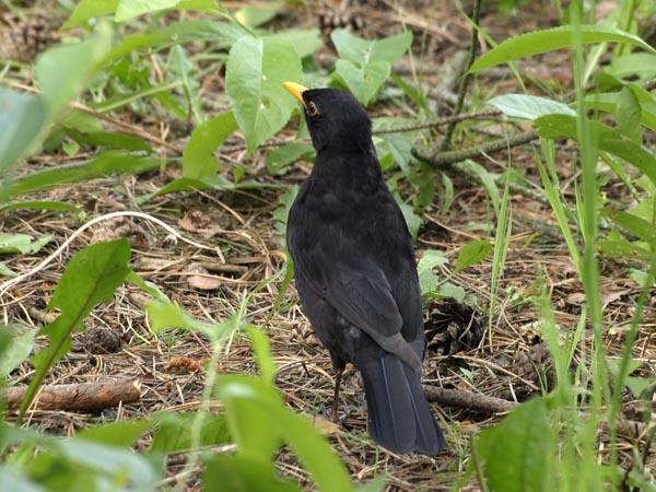 Kos / The Common Blackbird (Turdus merula)