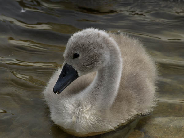 Labedz niemy / The Mute Swan / Cygnus olor
