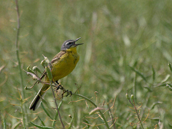 Pliszka zolta / The Yellow Wagtail / Motacilla flava