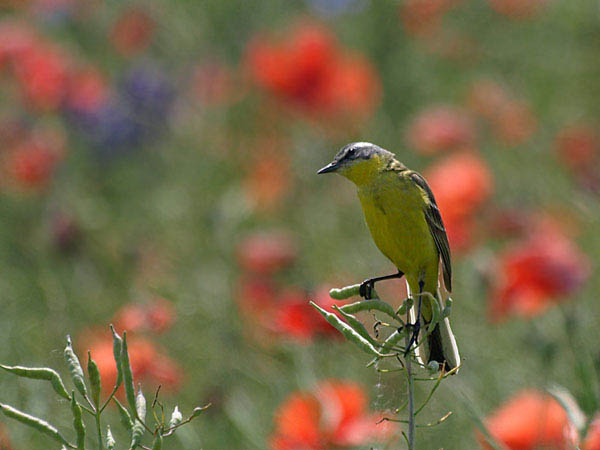 Pliszka zolta / The Yellow Wagtail / Motacilla flava
