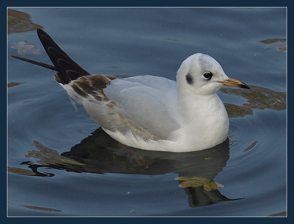 Mewa smieszka / Black-headed Gull (Larus ridibundus) 2