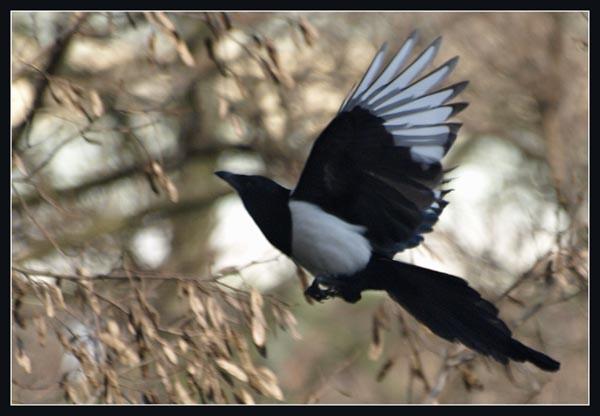 Sroka / The Common Magpie / Pica pica