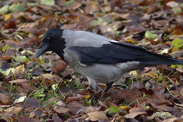 Wrona siwa / The Hooded Crow (Corvus cornix)