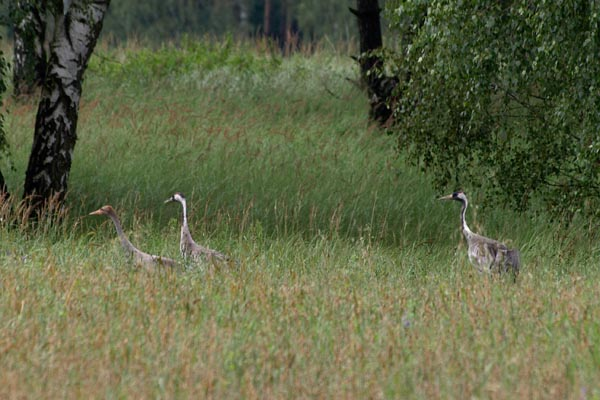 Zurawie - The Common Cranes / Grus grus