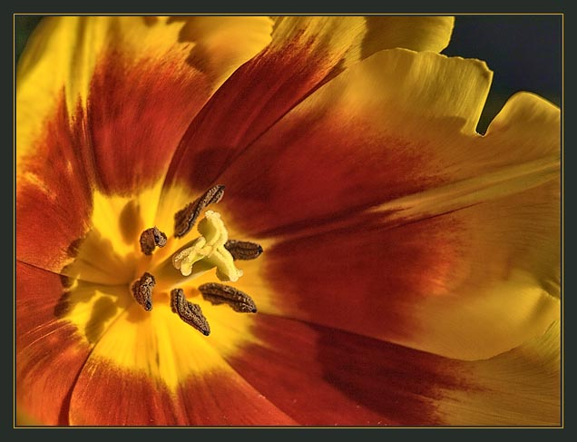TULIPAN / Tulip (Tulipa)