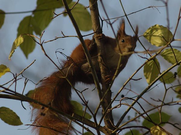 Wiewiorka (Sciurus vulgaris). POZNAN