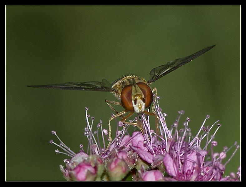 BZYG / Hoverfly (Episyrphus balteatus) - 1