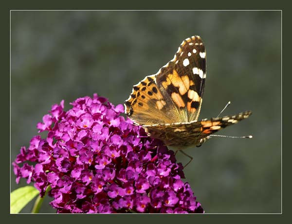 Rusalka osetnik / the Painted Lady (Vanessa cardui)