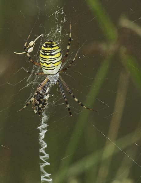TYGRZYK PASKOWANY / the wasp spider (Argiope bruennichi) 3
