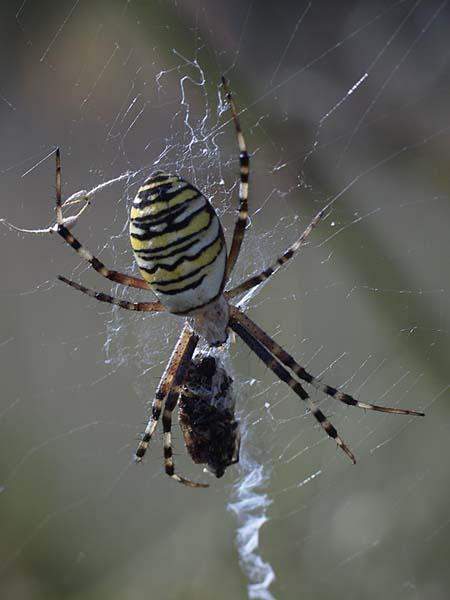 TYGRZYK PASKOWANY / the wasp spider (Argiope bruennichi) 1