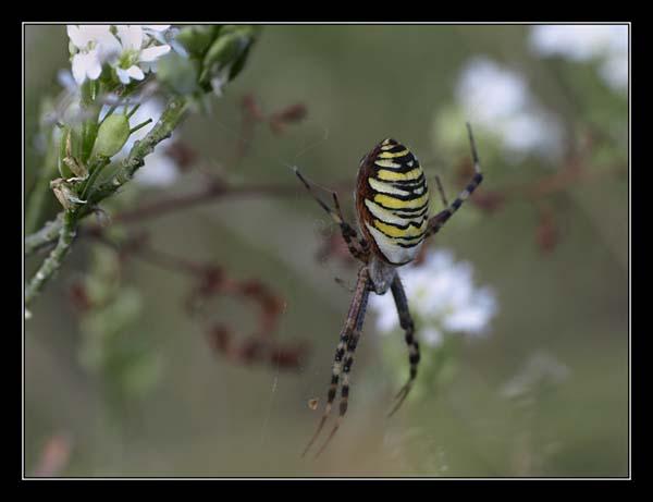 TYGRZYK PASKOWANY / the wasp spider (Argiope bruennichi) 2