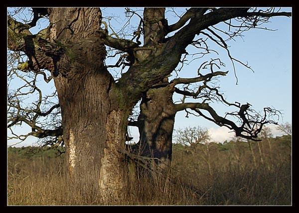DAB SZYPULKOWY / Oak (Quercus robur) 1. Rogalin