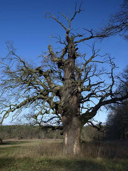 DAB SZYPULKOWY / Oak (Quercus robur) 2. Rogalin