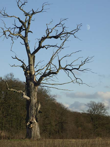 DAB SZYPULKOWY / Oak (Quercus robur) 3. Rogalin