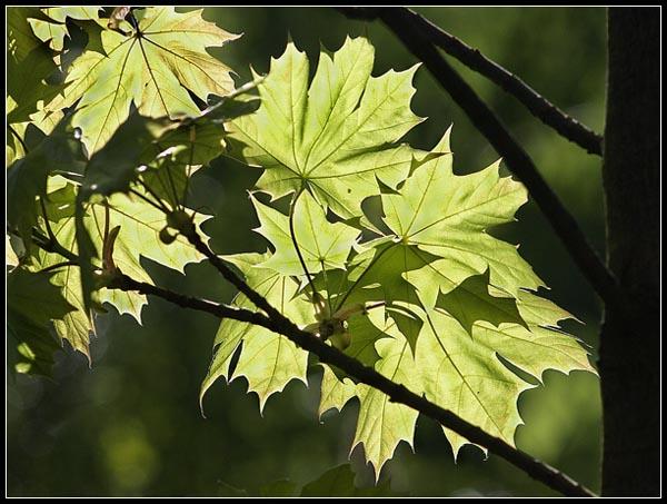 KLON ZWYCZAJNY / Norway Maple (Acer platanoides)