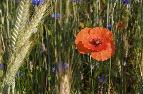 Mak polny / Poppy (Papaver rhoeas)