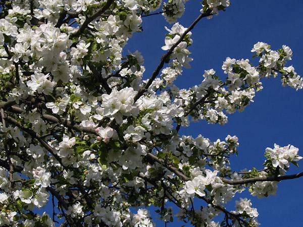 JABLON / Apple tree (Malus sp.) 1.