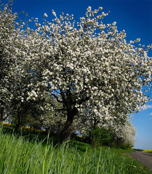 JABLON / Apple tree (Malus sp.) 2