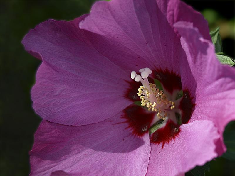 Ketmia (Hibiscus L.) KWIAT
