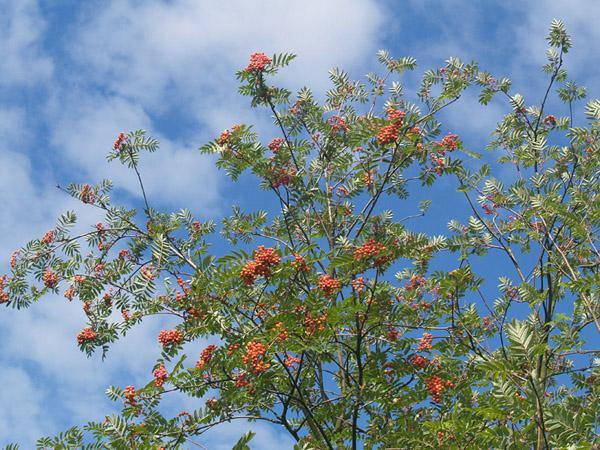 JARZEBINA (Sorbus aucuparia) 1