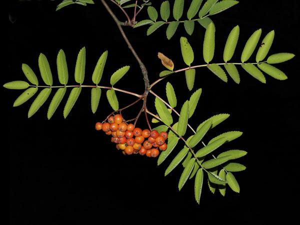 JARZAB POSPOLITY, JARZEBINA (Sorbus aucuparia L.) 2