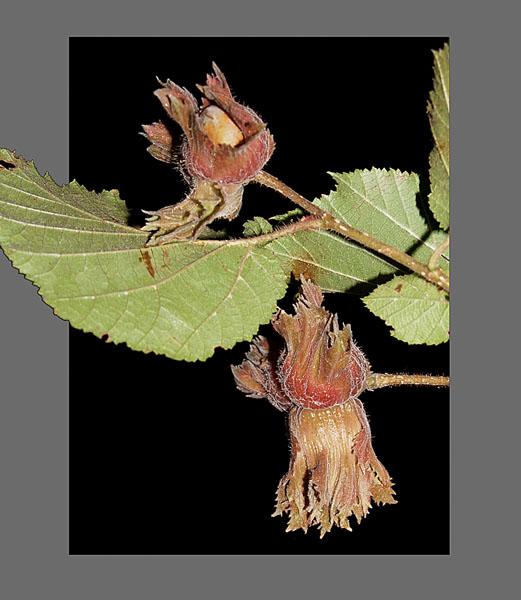 LESZCZYNA (Corylus avellana) owoce