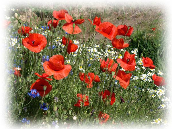 Polne kwiaty. WIELKOPOLSKA