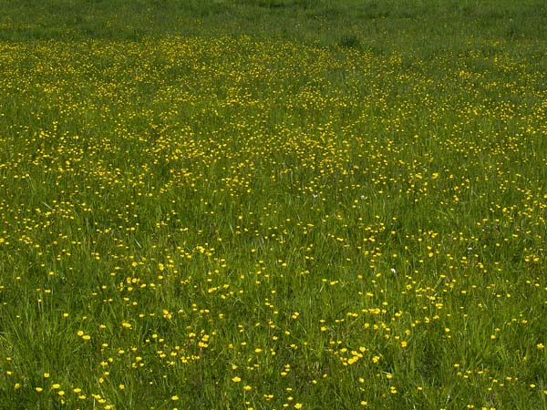 JASKRY (Ranunculus sp.)